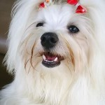 Raças de Cachorros Pequenos, Fotos