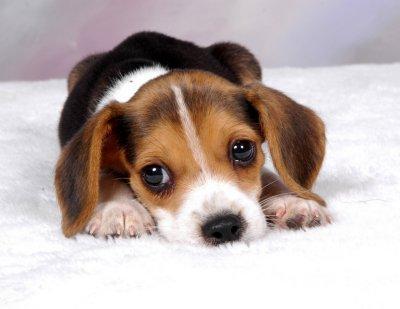 Fotos de Raças de Cachorros Pequenas